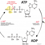 ADP_ATP_cycle