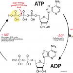 ADP_ATP_cycle